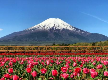 Tulips at Hanano Miyako Koen park