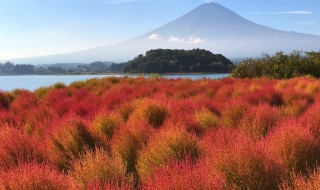 Autumn leave of Kokia balls in lake Kawaguchi