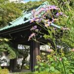 Belfry and Shion flower at Kaizo-ji temple in Kamakura