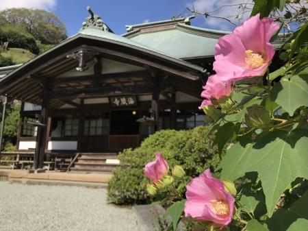 Cotton rose and main hall in Kaizo-ji temple in Kamakura