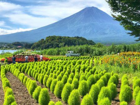 kochia balls and Mt.Fuji