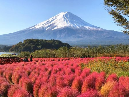 autumn leaves of kochia balls and Mt.Fuji