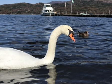 Swan at the shore of lake Yamanaka