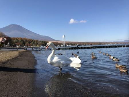 Swan and Mt.Fuji at the shore of lake Yamanaka