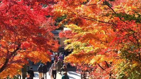 Autumn leaves at Somon gate and Yokosuka line in Engakuji temple in Kamakura
