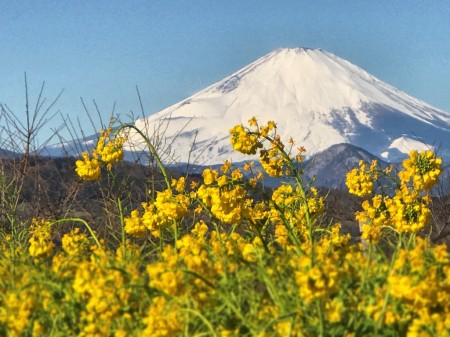 field mustard and Mt.Fuji at Azumayama Park