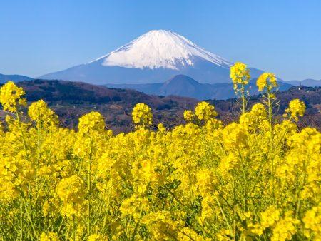 field mustard and Mt.Fuji at Azumayama Park in Ninomiya city