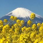 field mustard and Mt.Fuji at Azumayama Park