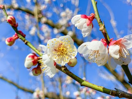 Plum blossoms in Soga,Japan