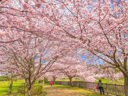 Cherry blossoms in Hikichigawa Shinsui Koen Park