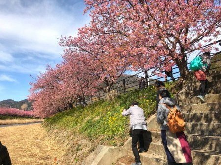 Cherry blossoms in Kawazu Town