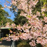 Cherry blossoms in Amanawa Jinmyo Shrine