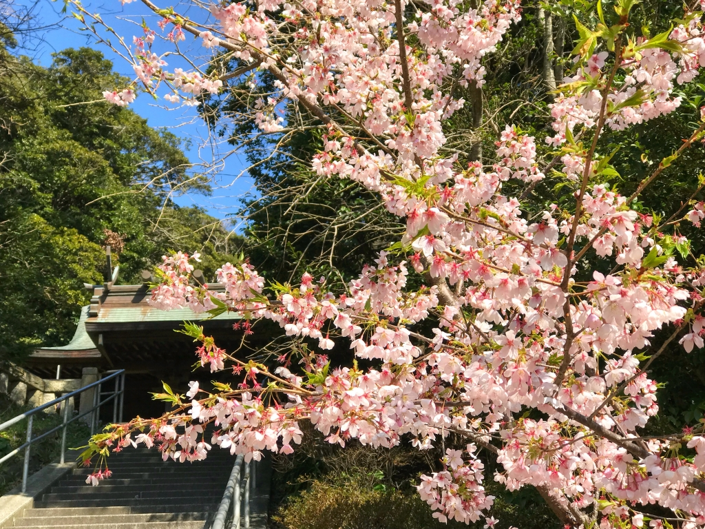 Early flowering cherry blossoms in Amasawa Jinmyo Shrine