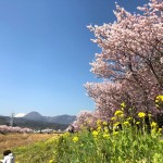 Cherry blossoms and field mustard at Shiawase-michi in Minami Ashigara City