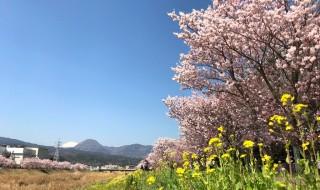 Cherry blossoms and field mustard at Shiawase-michi in Minami Ashigara City