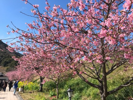 Cherry blossoms near Kawazu station