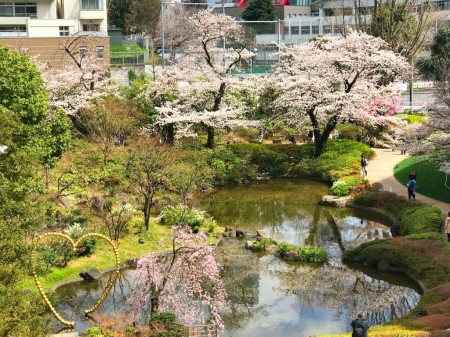 Cherry blossoms at Mouri Teien Garden in Roppongi Hills