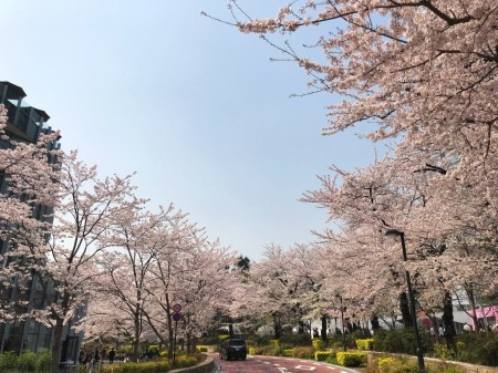 Cherry blossoms at Tokyo Midtown