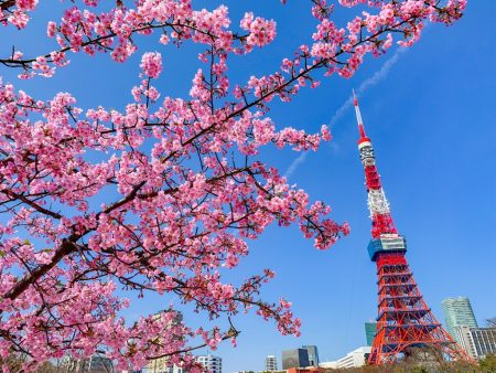 Cherry blossoms and Tokyo Tower at Prince Shibakoen Park