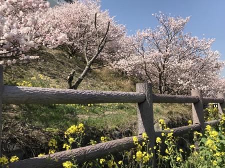 Cherry blossoms in Ichinoseki-Harane