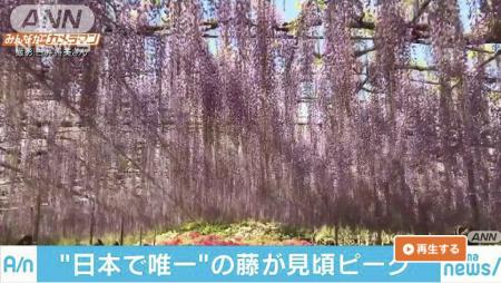 AbemaNews Wisteria flowers in Ashikaga Flower Park