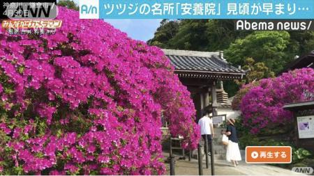 Abema News Azalea at Anyo-in temple