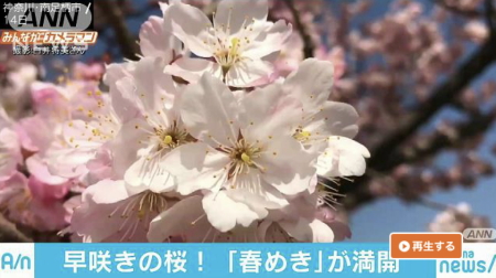 Abema News Harumeki-Zakura(early flowering cherry trees)