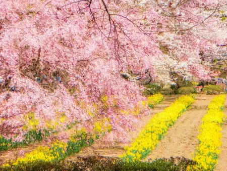Cherry blossoms and daffodil field in Jisso-ji temple