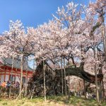 Yamataka Jindai cherry blossom tree