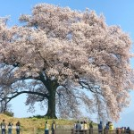Cherry blossoms at Wanizuka