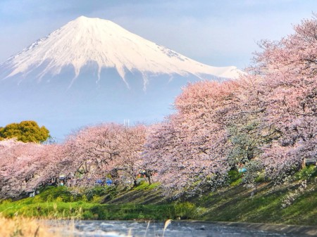 cherry blossoms and Mt.Fuji at Ryuganbuchi