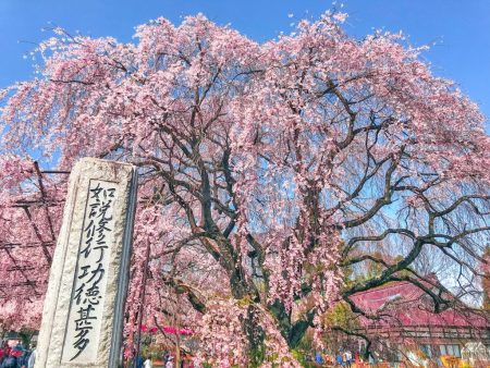 Shidare-Zakura(weeping cherry tree ) in Jisso-ji temple