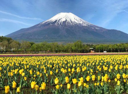 Tulips and Mt.Fuji in Hanano Miyako Koen Park