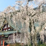Cherry blossoms in Kuon-ji temple