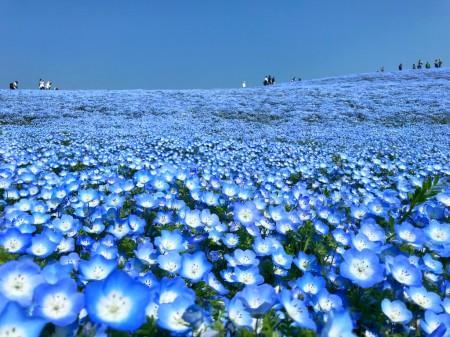 Nemophila field at Hitachi Seaside Park