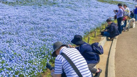 Nemophila field at Hitachi Seaside Park