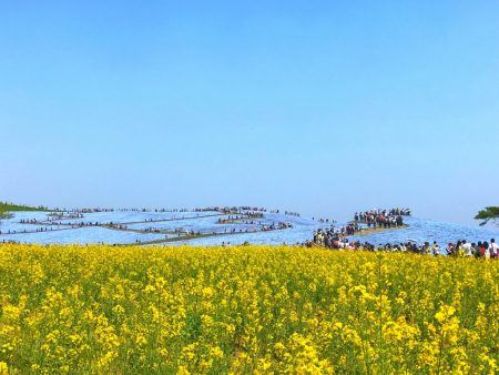 Nemophila field and canola flowers at Hitachi Seaside Park
