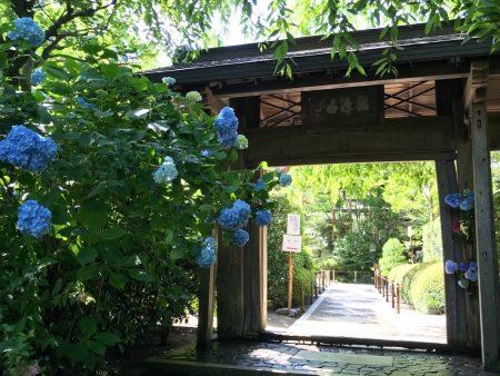 Hydrangea in Meigetsuin Temple