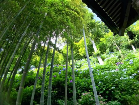 Bamboo forest and hydrangea in Hase temple
