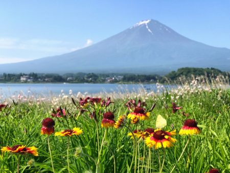 Blanket flower and Mount Fuji at Kawaguchiko herb festival2018