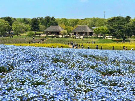 Nemophila field and traditional Japanese houses at Hitachi Seaside Park