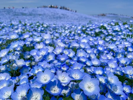 Nemophila field at Hitachi Seaside Park 2019