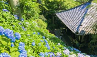 Hydrangea in Hase temple