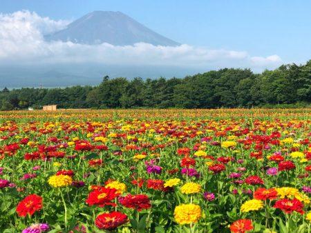 Zinnia flowers and Mount Fuji in Hanano Miyako Koen Park