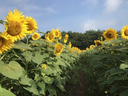 Sunflower maze in Hanano Miyako Koen Park
