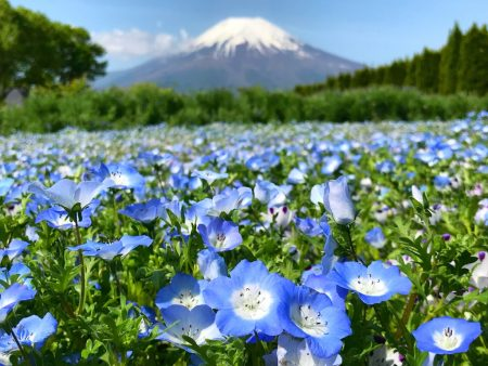 Nemophila and Mt.Fuji in Hanano Miyako Koen Park