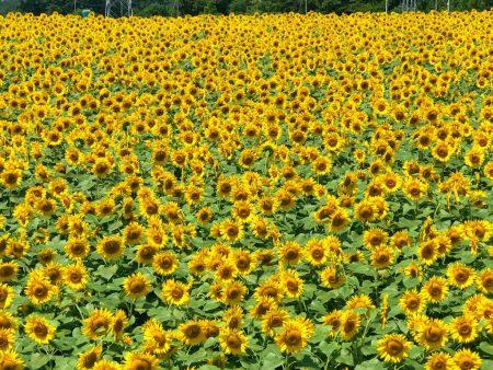 Akeno Sunflower Festival Field No.4