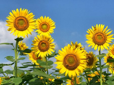 Zama Sunflower Festival