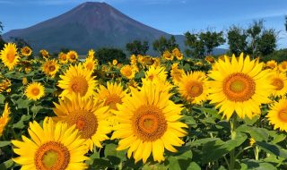 Sunflowers and Mount Fuji in Hanano Miyako Koen Park