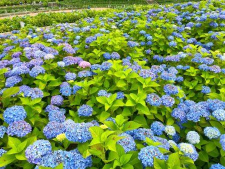 Hydrangea garden in Nabana No Sato